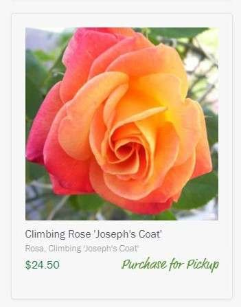 image of Joseph's Coat rose to Purchase for Pickup