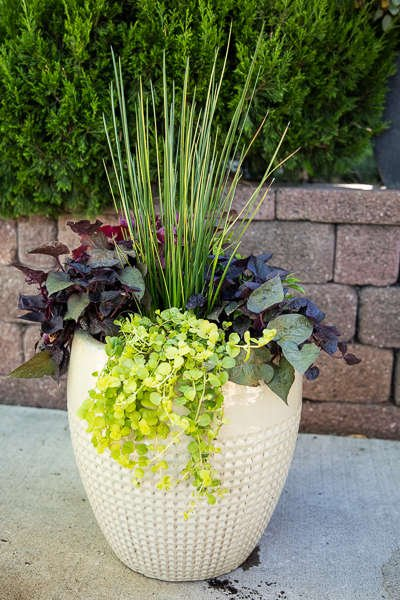White Pot with Coral Bells, Striped Rush and Potato Vine