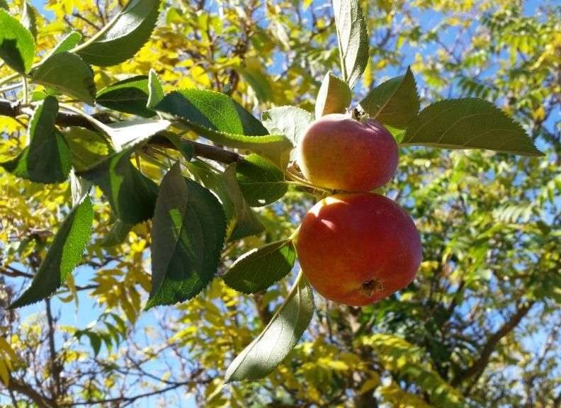Orleans Reinette antique apple