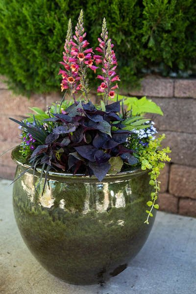 Dark Green Pot with Foxglove, Potato Vine and Black Mondo Grass