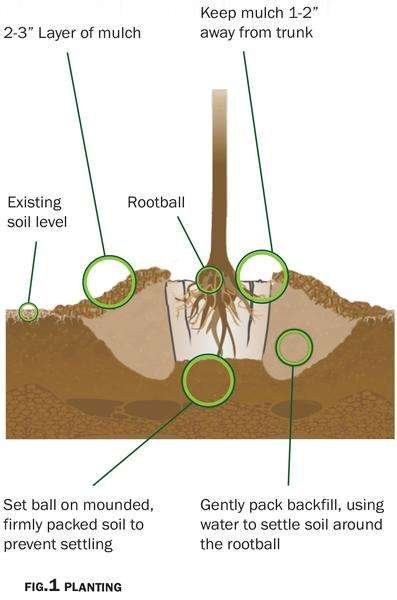 Illustration of pulp pot in a hole with mounded soil and mulch