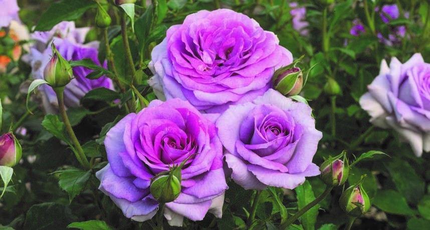 Violet's Pride Floribunda Rose