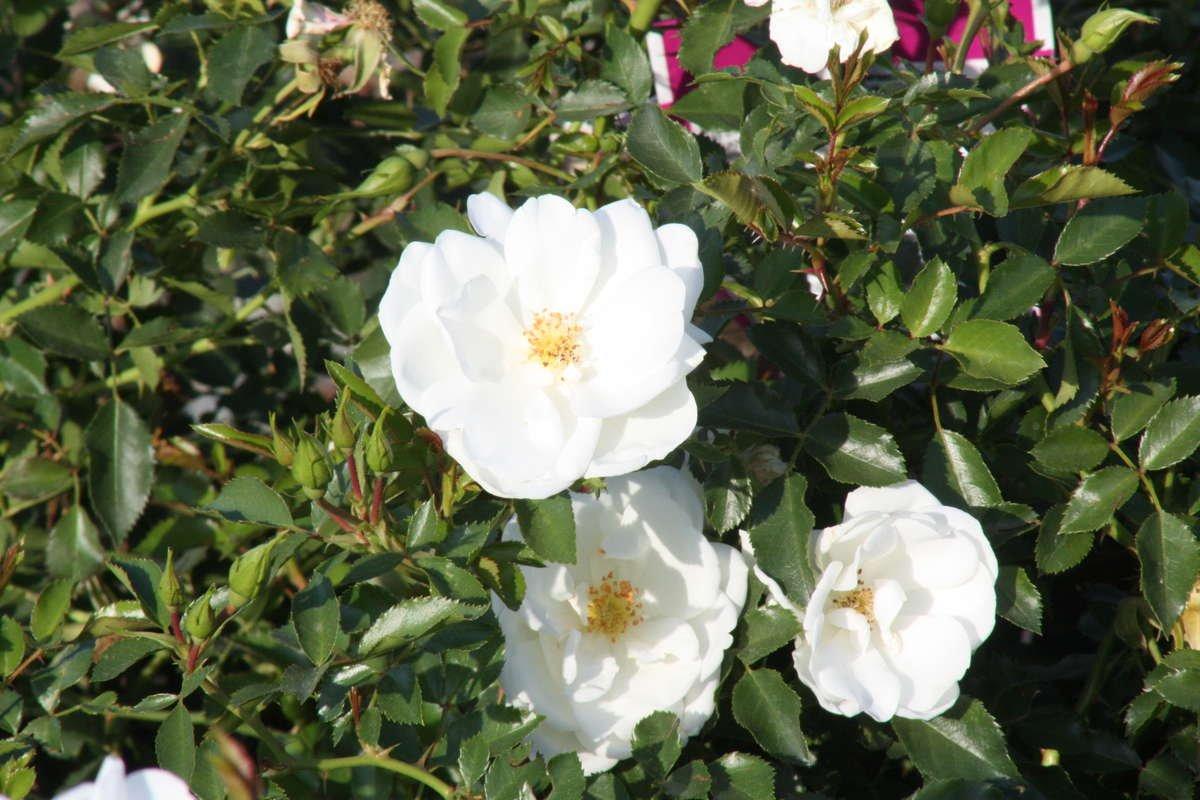 Flower Carpet Rose 'White'