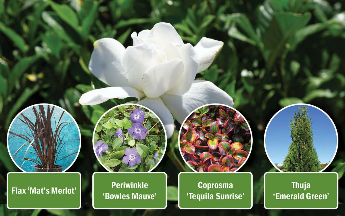 Gardenia Plant Combination