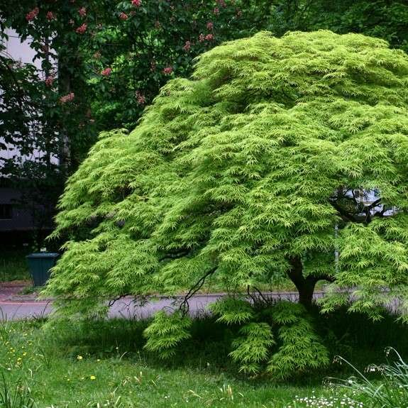 Japanese Maple with green foliage