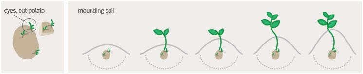 Diagram Showing How to Plant a Seed Potato
