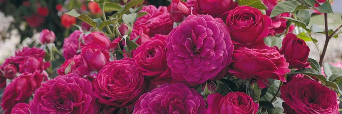 Keeping Your Roses Quot Rosy Quot Green Acres Nursery Amp Supply
