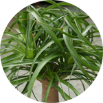 Ponytail Palm, Bottle Palm