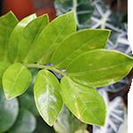ZZ Plant Foliage