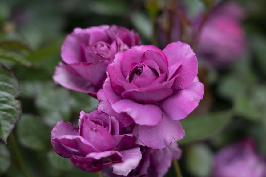 Rose Floribunda 'Plum Perfect'