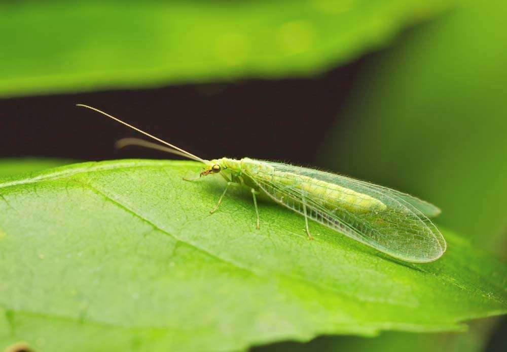 Lacewing on Leaf