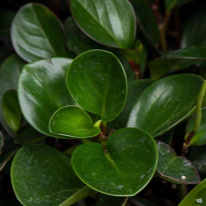Peperomia 'Green'