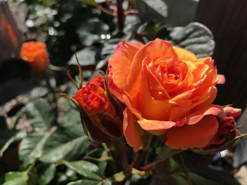 Rose Hybrid Tea 'Chris Evert'