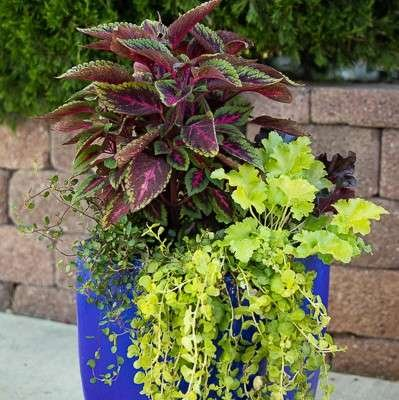 Cobalt Blue Pot with Coleus, Coral Bells and Wire Vine