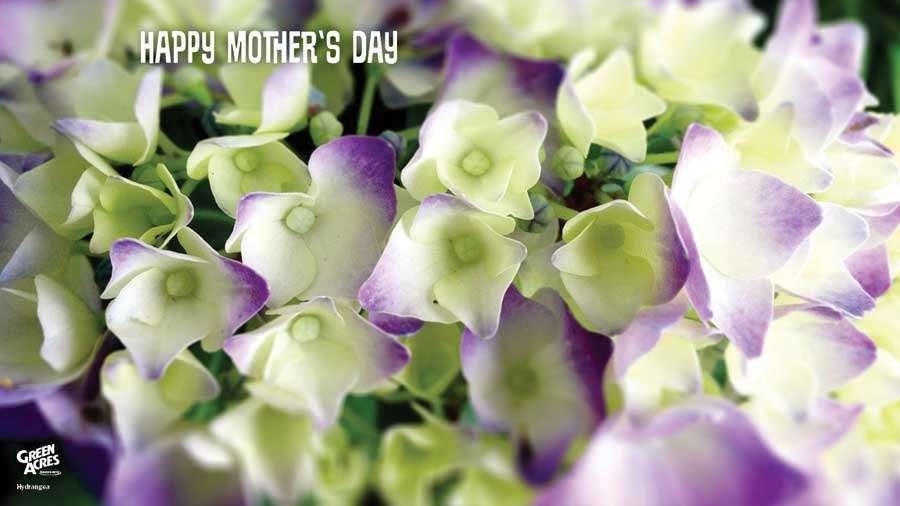 Happy Mother's Day Hydrangeas
