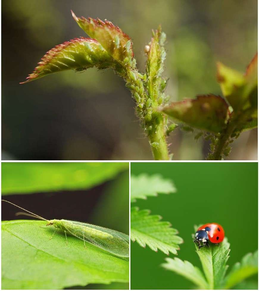 Aphids on green foliage. Lacewing. Ladybug.