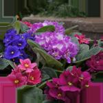 African Violet Flowering Plant
