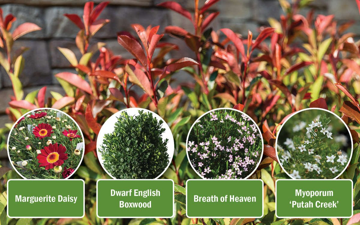 Red Tip Photinia with companion collection