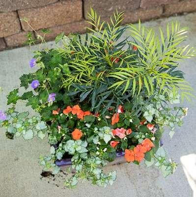 Impatiens, Lamium, Palm in a Purple Pot