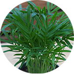 Parlor Palm/Neanthe Bella
