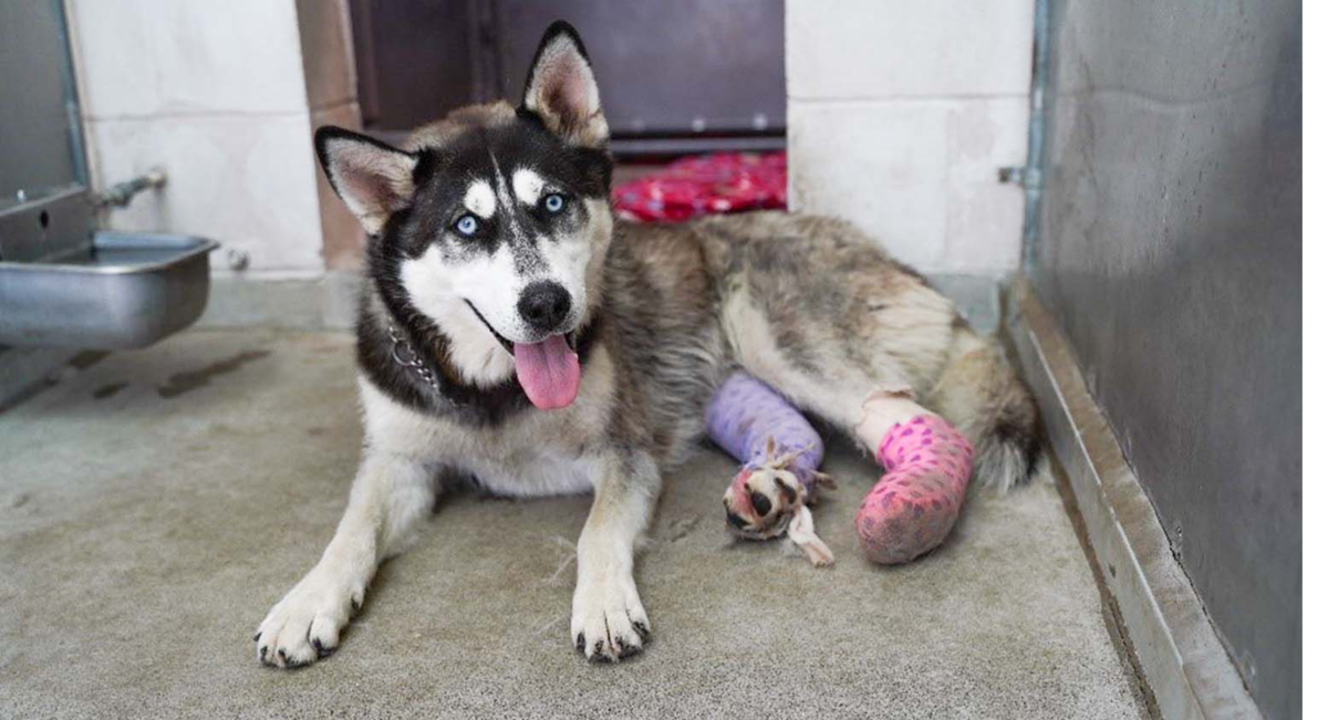 husky with two broken legs