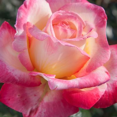 Enchanted Peace Hybrid Tea Rose