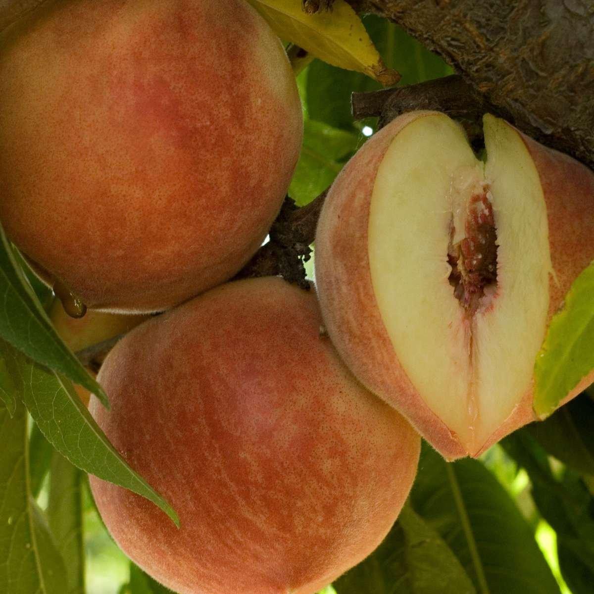 Peach 'Babcock' White