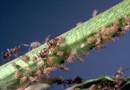 Ants with aphids on plant