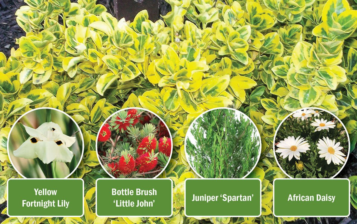 Golden Euonymus Plant Combination