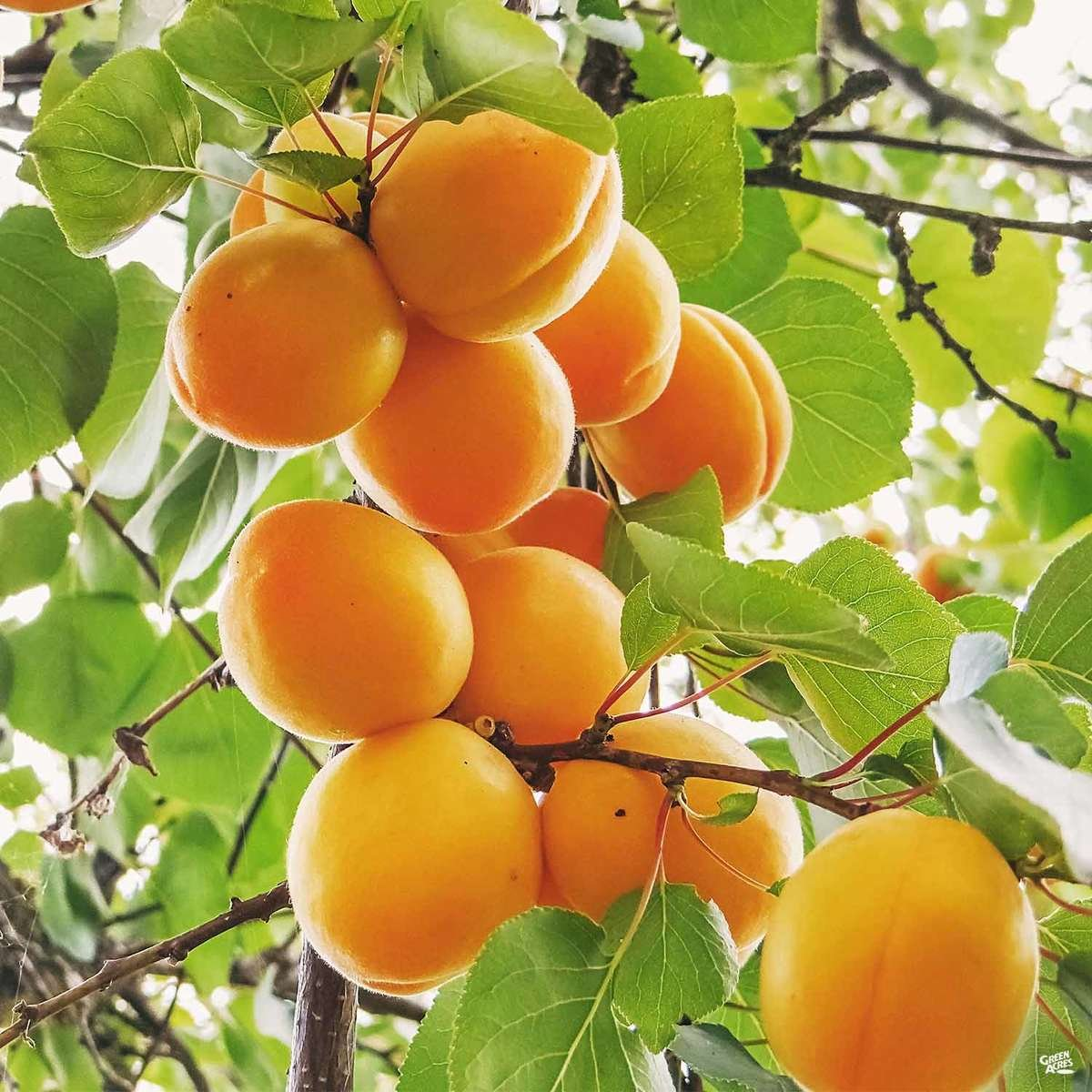 Fresh apricots on tree
