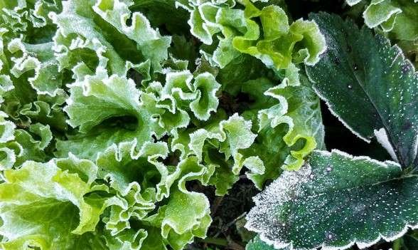 Lettuce leaves covered with frost