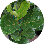 Fiddle Leaf Fig, Weeping Fig, Rubber Plant Foliage
