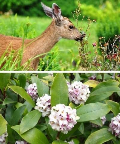 Plants that help deter deer