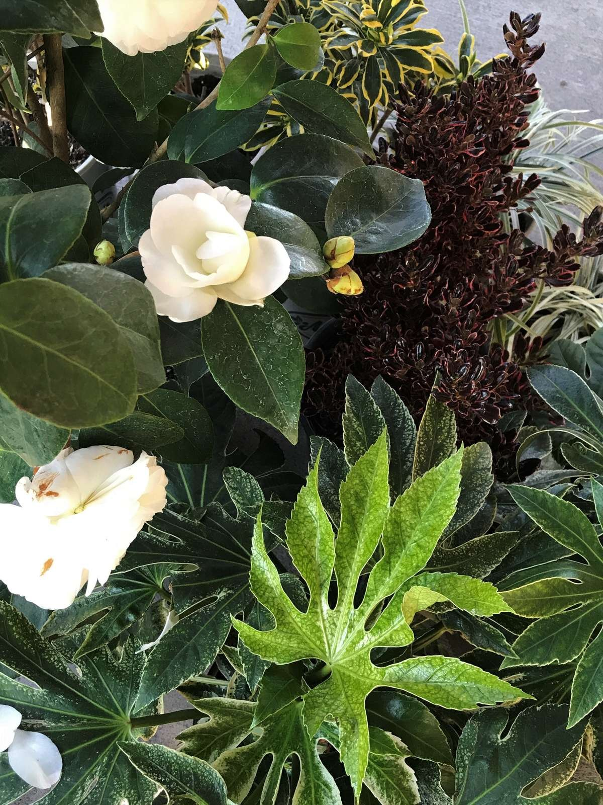Camellia, Coprosma, Daphne, Japanese Aralia Plants