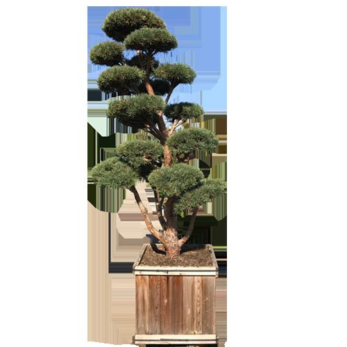 Hindupan Topiary