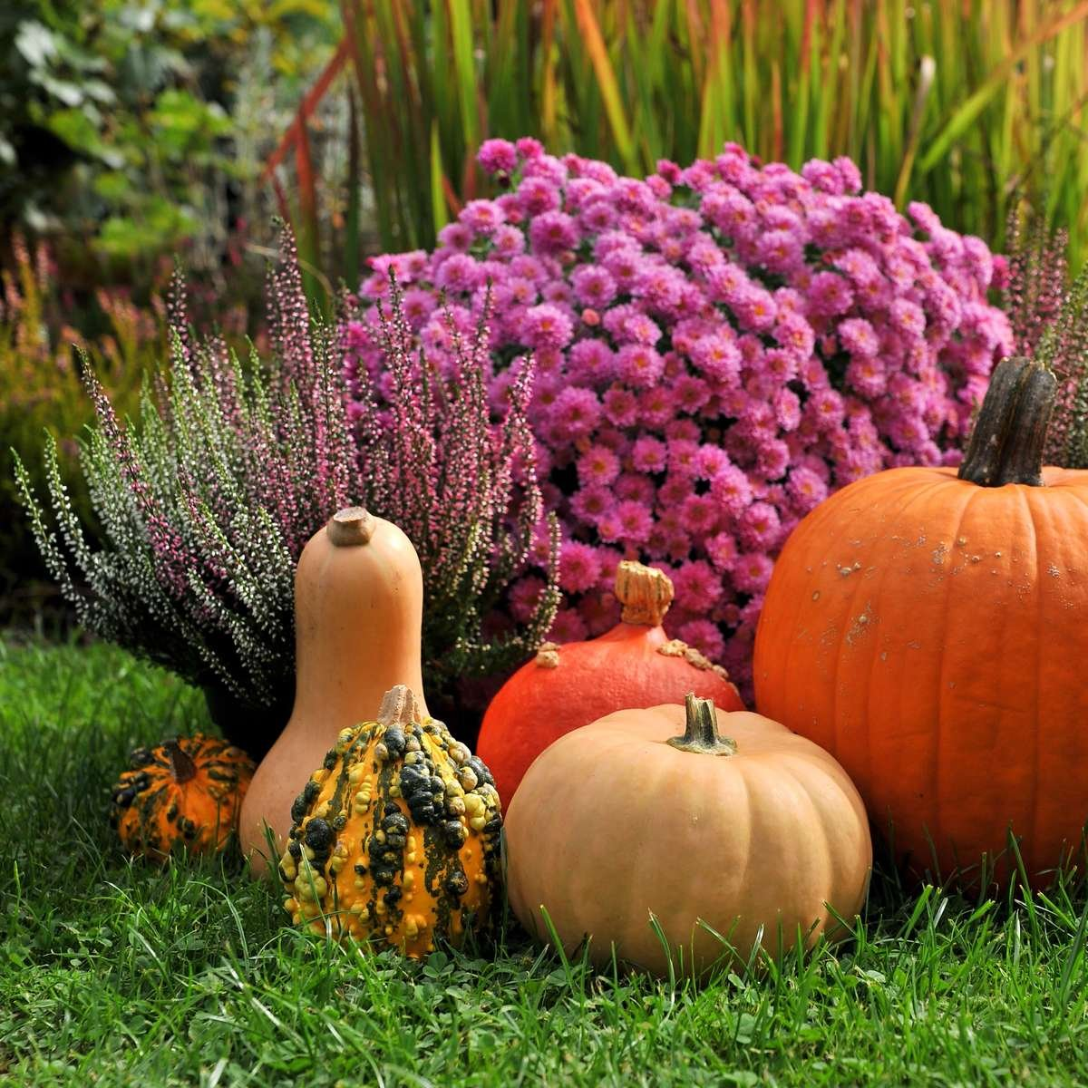 Mums, Pumpkins and Lawn in Fall Garden