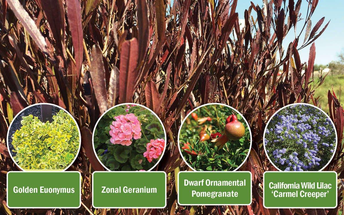 Purple Hopseed Bush with companions