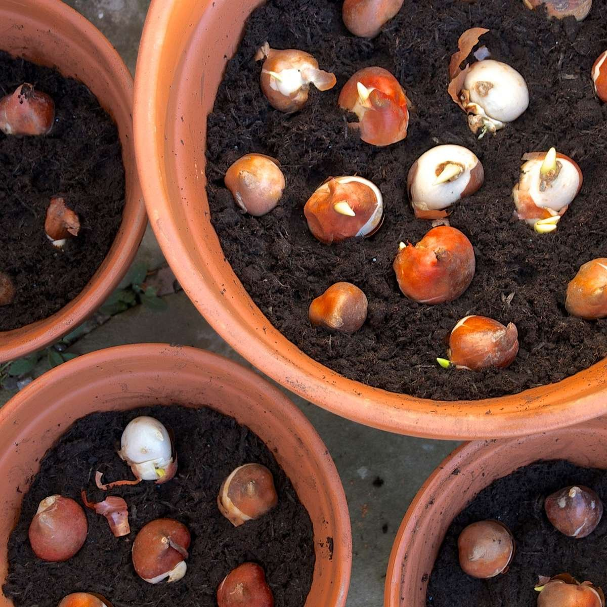 Bulbs planted in pots