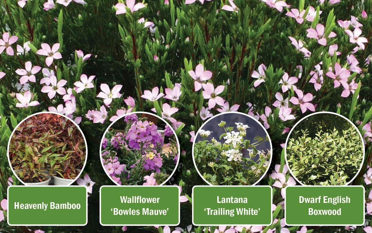 Breath of Heaven with companion shrubs