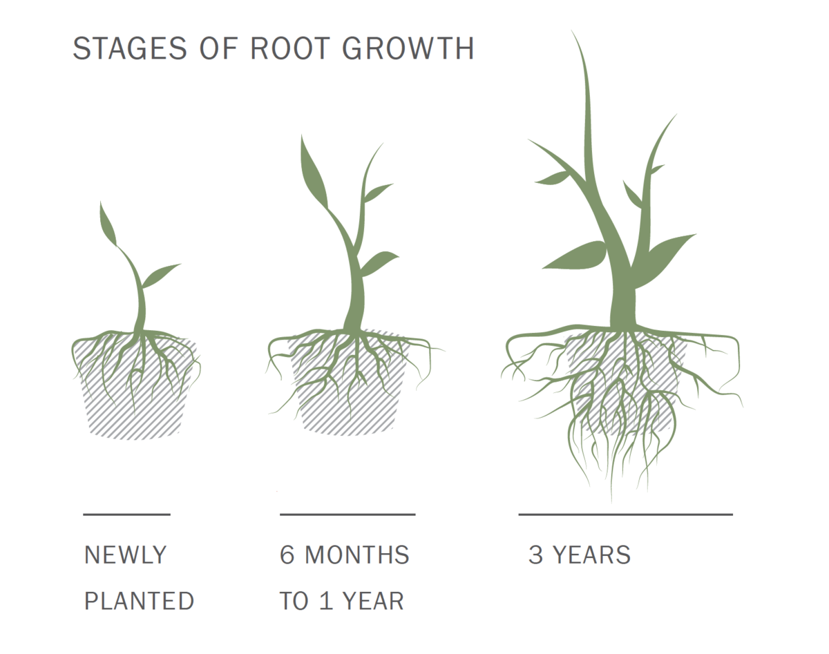Stages of Root Growth