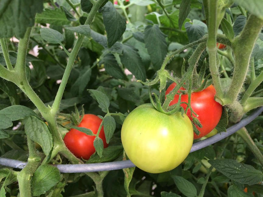 Fresh tomatoes growing on cage