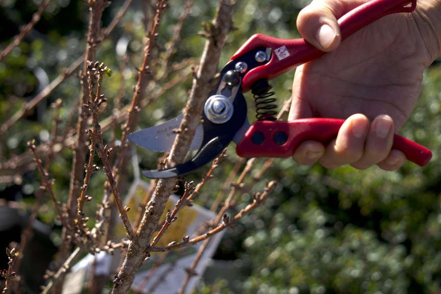 Red Roosters hand pruners cutting branch on tree