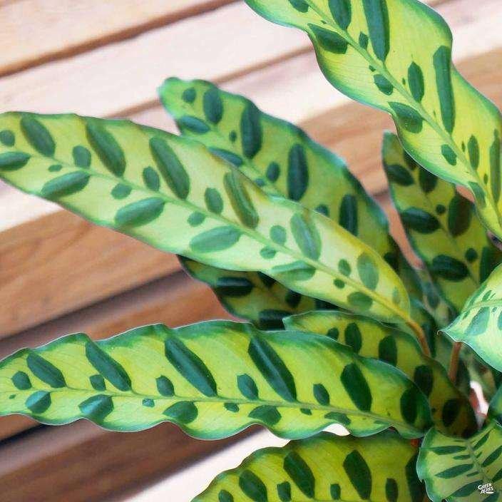 Calathea 'Lancifolia'