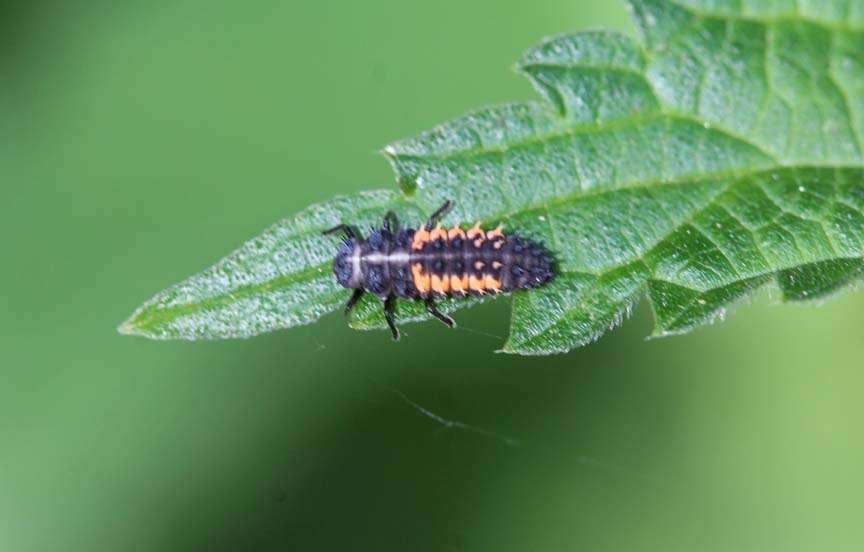 Ladybug Larvae Pupa