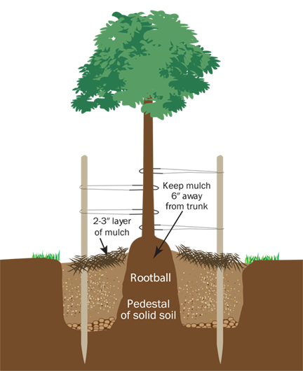 Diagram showing how to plant a tree with tree stakes and ties.
