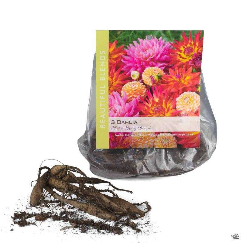 Package of Dahlia Bulbs