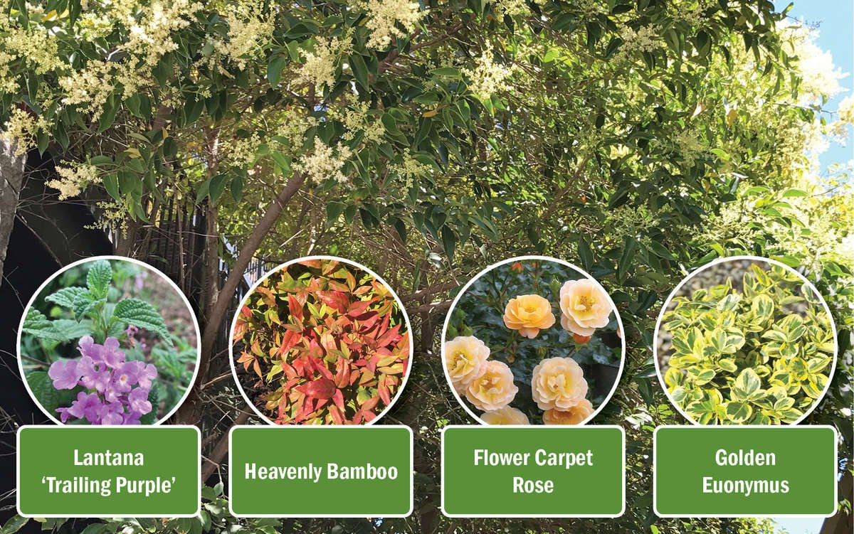 Texas Privet with companion shrubs