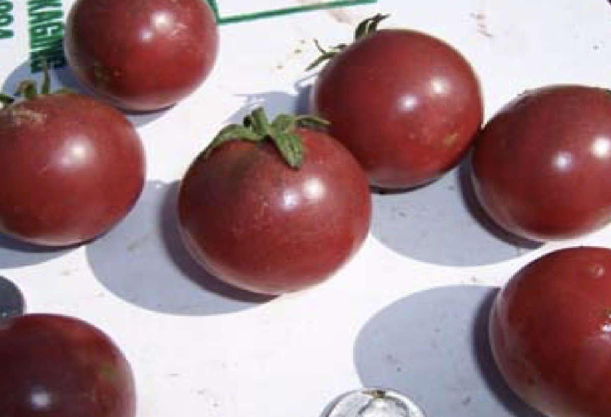 Wild Boar Tomato: Haley's Purple Comet