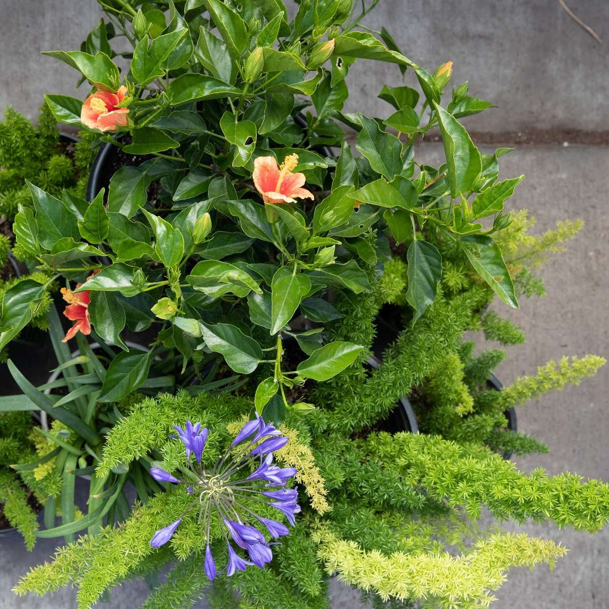 photo: Hibiscus, Asparagus Fern, Lily of the Nile