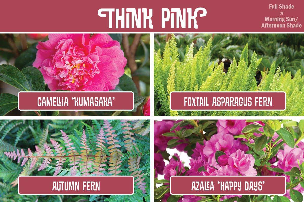 Plant Combination Camellia, Asparagus Fern, Autumn Fern, Azalea